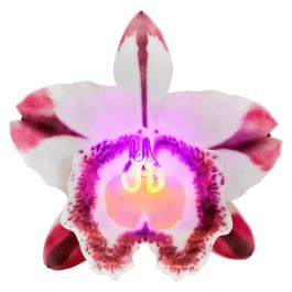Orchis Exotica Cattleya Pink Striker, a Glass & Neon Glass Orchid by Laura Hart